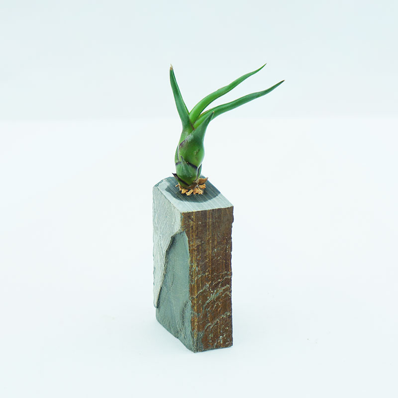 morningwood growers medusae sm slate stand
