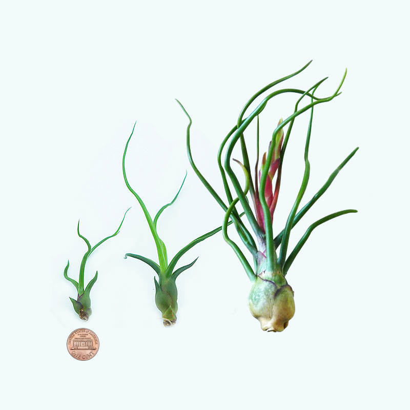 Morningwood growers tillandsia bulbosa size comparison.