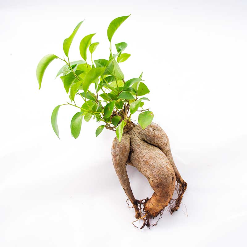 Bonsai Naked Bonsai Ficus Microcarpa Ginseng