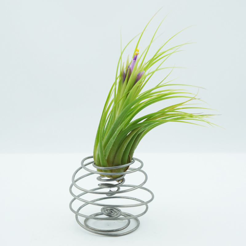morningwood growers scaposa spiral vase a
