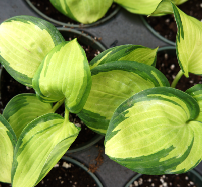 Hosta_great_expectation_morningwood_growers_1