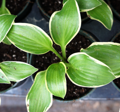 Hosta_queen_josephine_morningwood_growers_1