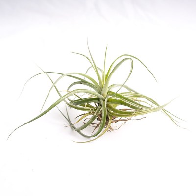 morningwood_growers_air_plant_tillandsia_aeranthos_amethyst