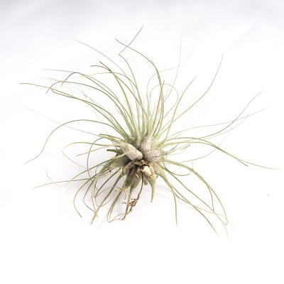 morningwood_growers_air_plant_tillandsia_argentea_thin_leaf_fuchsii_base
