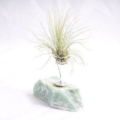 morningwood_growers_air_plant_tillandsia_argentea_thin_leaf_fuchsii_caribgrn_mnt