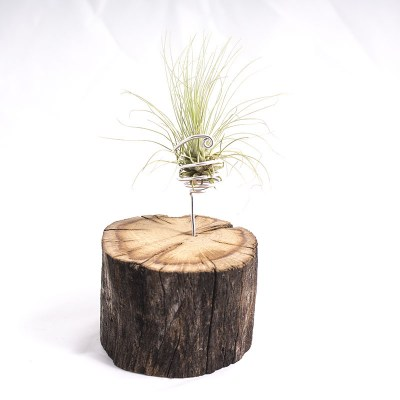 morningwood_growers_air_plant_tillandsia_argentea_thin_leaf_fuchsii_oak_mnt_det