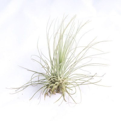 morningwood_growers_air_plant_tillandsia_argentea_thin_leaf_fuchsii_side