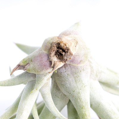 morningwood_growers_air_plant_tillandsia_capitata_silver_rose_base