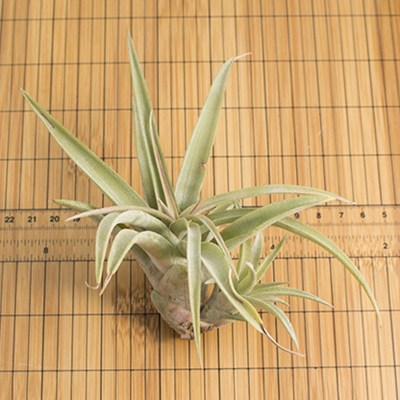 morningwood_growers_air_plant_tillandsia_capitata_silver_rose_scale