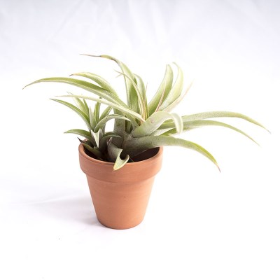 morningwood_growers_air_plant_tillandsia_capitata_silver_rose_tpot