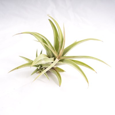 morningwood_growers_air_plant_tillandsia_capitata_silver_rose_wpup