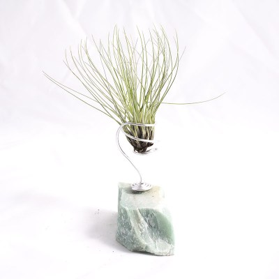 morningwood_growers_air_plant_tillandsia_filifolia_carib_grn_mnt
