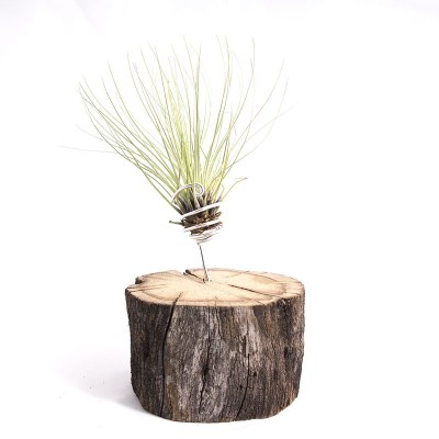 morningwood_growers_air_plant_tillandsia_filifolia_oak_mnt