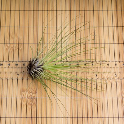 morningwood_growers_air_plant_tillandsia_filifolia_scale_2