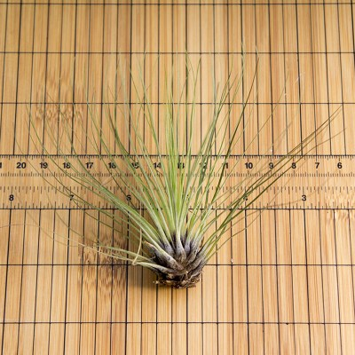 morningwood_growers_air_plant_tillandsia_filifolia_scale