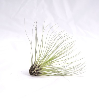 morningwood_growers_air_plant_tillandsia_filifolia_side