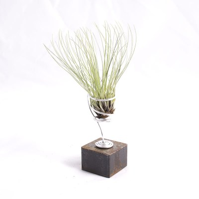 morningwood_growers_air_plant_tillandsia_filifolia_steel_mnt