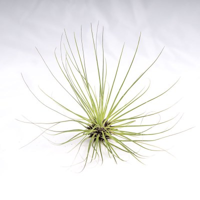 morningwood_growers_air_plant_tillandsia_filifolia_top_2