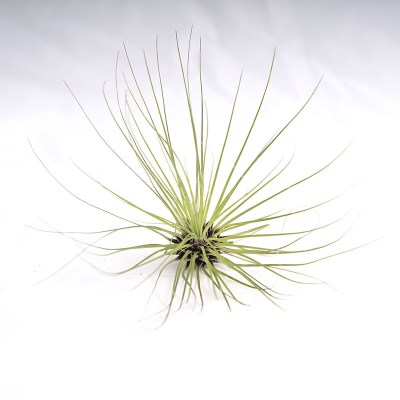 morningwood_growers_air_plant_tillandsia_filifolia_top