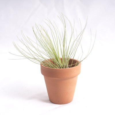 morningwood_growers_air_plant_tillandsia_filifolia_tpot_2