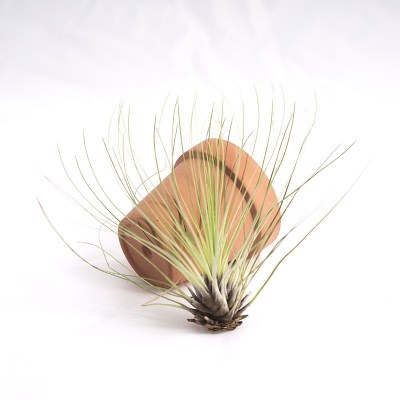 morningwood_growers_air_plant_tillandsia_filifolia_tpot