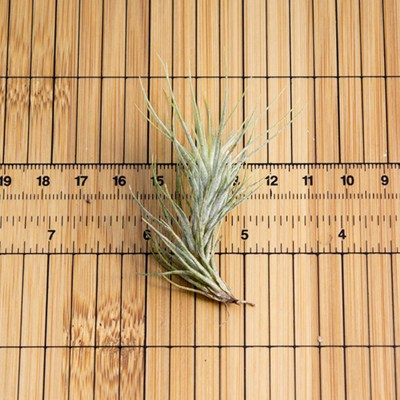 morningwood_growers_air_plant_tillandsia_funckiana_sm_scale