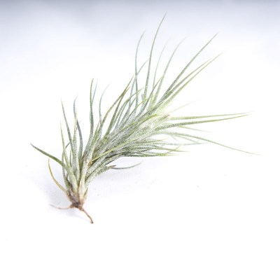 morningwood_growers_air_plant_tillandsia_funckiana_sm_side