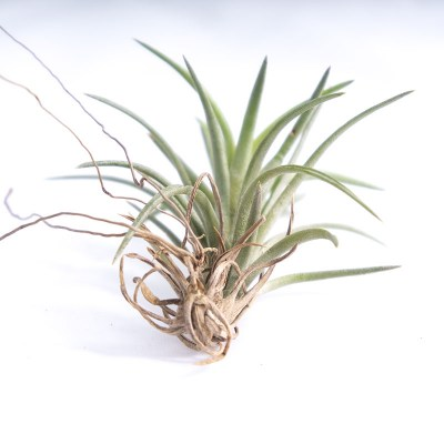 morningwood_growers_air_plant_tillandsia_neglecta_sm_base