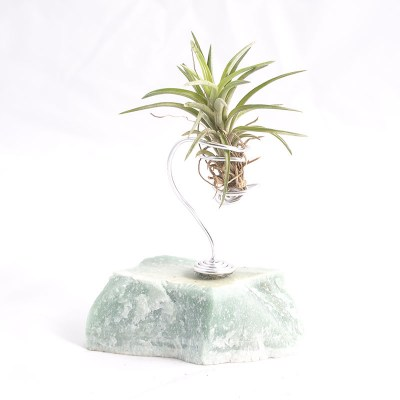morningwood_growers_air_plant_tillandsia_neglecta_sm_caribgrn_mnt