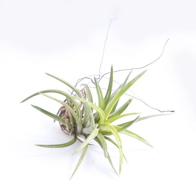 morningwood_growers_air_plant_tillandsia_neglecta_sm_frnt
