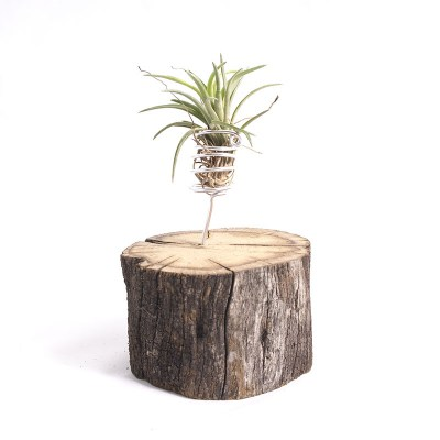 morningwood_growers_air_plant_tillandsia_neglecta_sm_oak_mnt