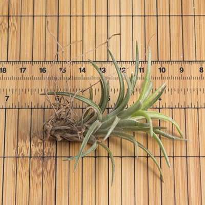 morningwood_growers_air_plant_tillandsia_neglecta_sm_scale_2