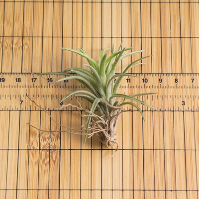 morningwood_growers_air_plant_tillandsia_neglecta_sm_scale