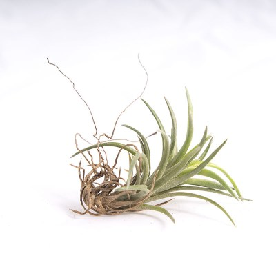 morningwood_growers_air_plant_tillandsia_neglecta_sm_side