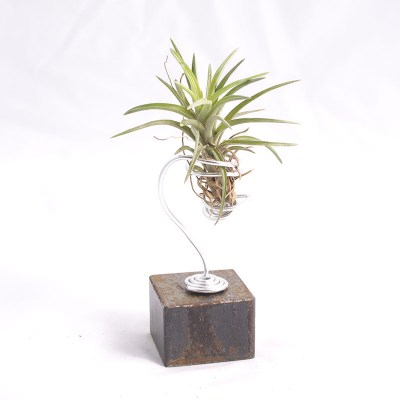morningwood_growers_air_plant_tillandsia_neglecta_sm_steel_mnt