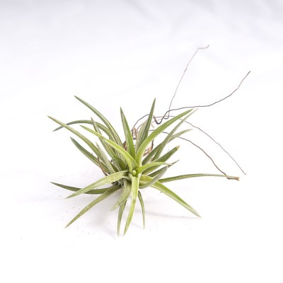 morningwood_growers_air_plant_tillandsia_neglecta_sm_top