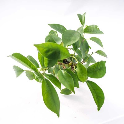 morningwood_growers_bonsai_bare_root_ficus_microcarpa_gensing_canopy