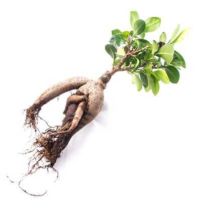morningwood_growers_bonsai_bare_root_ficus_microcarpa_gensing_grafted_3
