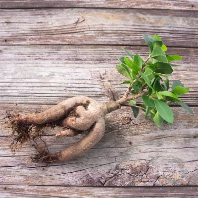 morningwood_growers_bonsai_bare_root_ficus_microcarpa_gensing_grafted