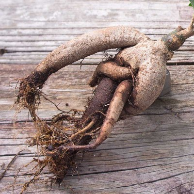 morningwood_growers_bonsai_bare_root_ficus_microcarpa_gensing_grafted_detail_roots