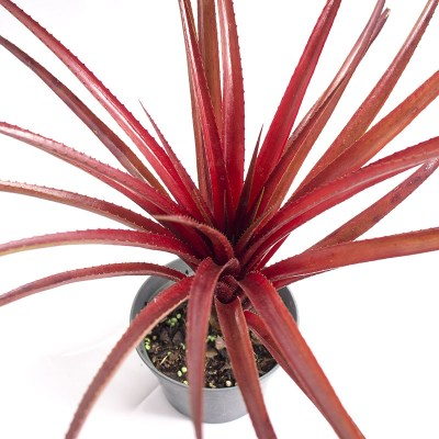 morningwood_growers_bromeliad_neophytum_burgundy_hill_top_det