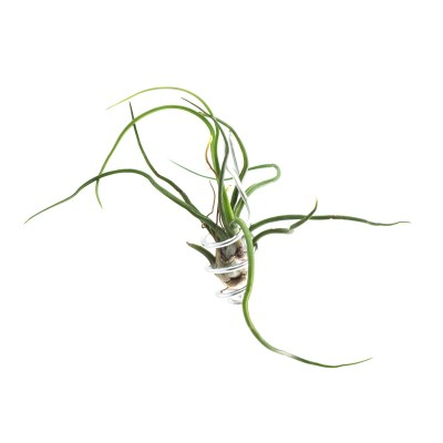 morningwood_growers_bulbosa_tillandsia_sm