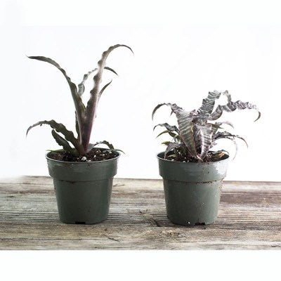 morningwood_growers_cryptanthus_black_magic__earth_star_1