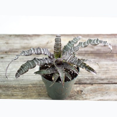 morningwood_growers_cryptanthus_black_magic__earth_star_3