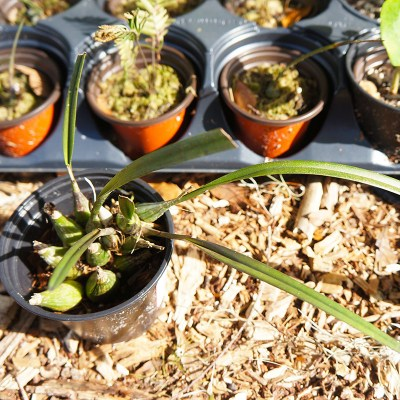 morningwood_growers_encyclia_tampenses_potted_2