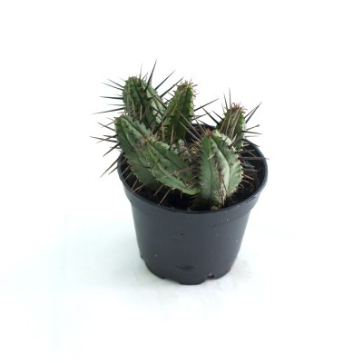 morningwood_growers_euphorbia_enopla