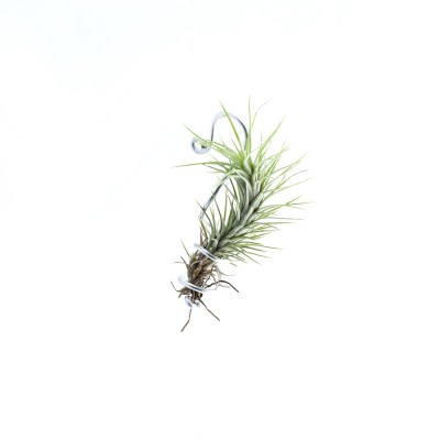 morningwood_growers_funckiana_tillandsia_sm