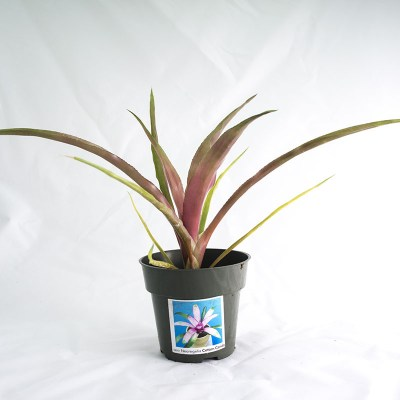 morningwood_growers_neoregelia_cotton_candy