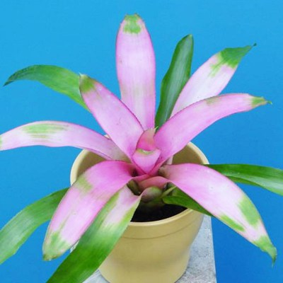 morningwood_growers_neoregelia_cotton_candy_adult