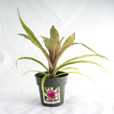 morningwood_growers_neoregelia_donna